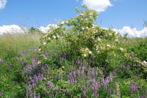 Krzew dziekiej róży w rezerwacie Murawy Dobromierskie