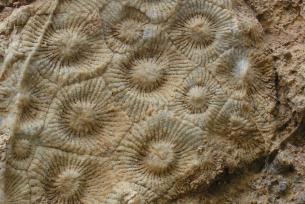Kolonia korali w rezerwacie Wietrznia im. Zbigniewa Rubinowskiego w Kielcach