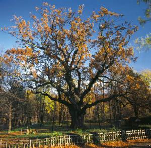 Bartek the Oak