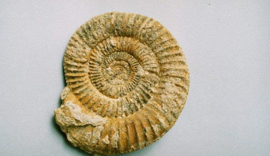 Amonit jurajski