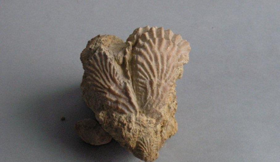Górnojurajskia ostryga Lopha