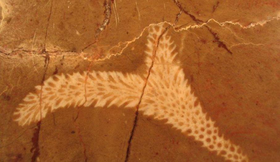 Koralowiec gałązkowy dewon