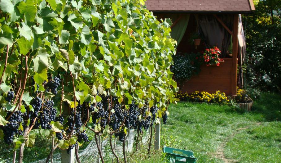 Winnica nad Jarem